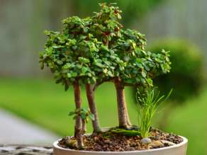 spekboom-bonsai-portulacaria-afra3.jpg